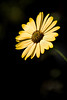 Profile-African Daisy 3-0 F LR 1-27-18 J085 (sunspotimages) Tags: flower flowers daisy africandaisy daisies yellow yellowflower yellowflowers yellowdaisy yellowdaisies africandaisies nature