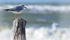 GULL ON A STUMP (Wolf Creek Carl) Tags: gull seagull shorebirds shore waves stump blue green wildlife birds nature ocean outdoors florida portstjopeninsula