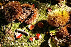 Ainda o outono... (vmribeiro.net) Tags: autumn fall nuts chestnut horse chestnuts conkers plant season seasonal nut natural nature wood leaves leaf brown autumnal park ripe outdoor organic nutshell seed closeup outside delicatessen forest botanic botany animal grass garden