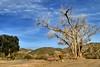 Old tree on Sonoran Desert ranch, somewhere in Gila County, Arizona (edk7) Tags: nikond3200 edk7 2013 us usa arizona gilacounty sky cloud mountain hill landscape vista tree scrub fence geology nature sonorandesert farm ranch rural country countryside