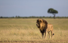 Scarface the Lion king - Masai Mara Kenya (Mathieu Pierre) Tags: big cat kenya lion