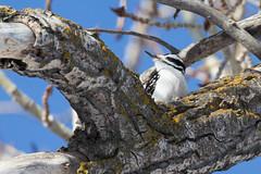 IMG_0935-58.jpg (David A Mitchell) Tags: wildlife birds woodpeckers hairywoodpecker