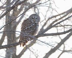 IMG_0294 (DavidMC92) Tags: canon eos 7d oklahoma city tamron sp 70300mm martin nature park barred owl