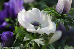 """spring bouquet on our diningtable"" (Fred / Canon 70D) Tags: canon canon70d canoneos flowers anemoon anemone flower macro closeup ef100mmf28lmacroisusm eefde spring spring2018 white blue"