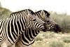Two Zebras sharing a joke (zimbart) Tags: africa namibia etosha fauna vertebrata mammals perissodactyla equidae equus equusquagga zebra