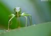 Katydid (Max Waugh Photography) Tags: katydid costarica animal green nature wildlife disguise camouflage mimicry leaf insect bug cr13 maxwaugh