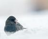 20180210-_DSC5003 (dmiller91) Tags: backyardbirds cardinal hawk whitethroatedsparrow