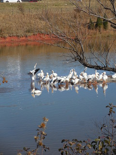 Pelicans at Lake Hefner, Oklahoma City OK