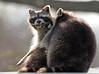 Raccoon Blijdorp BB2A8747 (j.a.kok) Tags: raccoon wasbeer amerika america animal blijdorp zoogdier dier omnivore