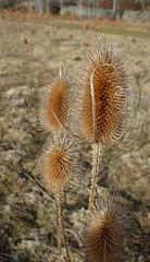 Teazel (Ian Robin Jackson) Tags: h flower nature countryside dinnet aberdeenshire scotland outside teasel teazel patterns sony zeiss winter