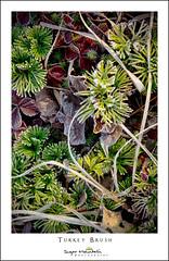 Turkey Brush (DKNC) Tags: turkeybrush blueridgeparkway northcarolina nc plants daleking