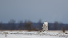 Roadside Snowy (D.Leslie) Tags: owl ontario canon canada winter wildlife wings nature naturallight avian
