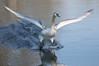 Cygnet landing (Mukumbura) Tags: swan cygnet young adolescent muteswan sprint running takeoff water splash splashing sprinting bird wildlife wings wingspan feet speed action determination perseverance agility power cygnusolor wells somerset nature britain flight flying landing