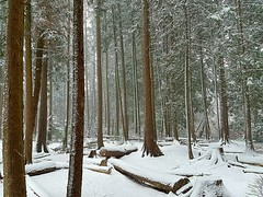The woods in a snowstorm (walneylad) Tags: eastviewpark westlynn lynnvalley northvancouver britishcolumbia canada snow snowstorm snowflakes february winter cold white park parkland forest urbanforest woods woodland trees branches logs green brown nature view scenery