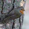 Tree fat _MG_7175 (ronniefleming@btinternet.com) Tags: robin bark scottishwildlife visitscotland ph31fyronnieflemingphotography walkhighlands