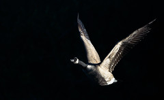 out of the shadows (jeff.white18) Tags: canadagoose goose bird flight fly wings wildlife wild nature nikon langford flickr
