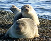 Seals (stuartcroy) Tags: orkney island seal sealife selkie scotland sea sony animals beautiful blue bay