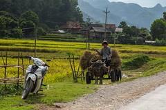 Rychle nebo spolehlivě? (zcesty) Tags: zvířata pole motorka hory domorodci buvol vietnam27 vietnam dosvěta điệnbiên vn