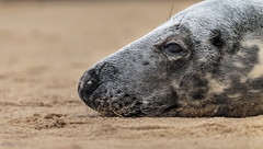 Grey Seal on a sandy beach. (Tony Smith Photo's) Tags: beach coast ecology grey greyseal head isolated mammal marine natural nature norfolk ocean outdoors sand sea seal water whiskers wild wildlife animal animalhead background beautiful close cold cute dune funny fur gray grayseal grypus halichoerus halichoerusgrypus lay lazing lazy life northsea nose outdoor peaceful pretty relax relaxbeach relaxing rest resting sleep sleepanimal sleeping still tired whisker winter young