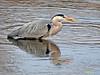 Garza real (Ardea cinerea) (22) (eb3alfmiguel) Tags: aves zancudas ciconiiformes ardeidae garza real ardea cinerea