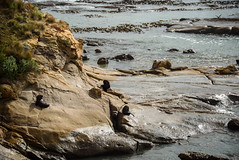Sunbathing (Jocey K) Tags: newzealand nikond750 southisland shagpoint matakaea southpacificsea seals rocks furseals seascape wavewornmudstones