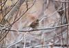 IMG_2981 - Copy (seahorse19911) Tags: birds whitethroatedsparrow