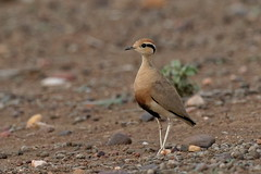 Temminck's Courser - Courevite de Temminck (happybirds.ch) Tags: afriquedusud africa south kruger national park knp wild sauvage nature happybirds bird oiseau courser temminck