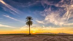 Chaotic SImplicity (Wayne Stadler Photography) Tags: datepalm trees desert sunsets sunset arizona field tree palmtree rural backroads palms dusk