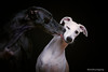 The wet Kiss (marcusgier) Tags: windhund sighthound funny face kiss galgo whippet dog