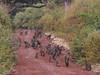Baboon troop on road 2 (David Bygott) Tags: africa tanzania natgeoexpeditions 171230 lake manyara lmnp baboon social behavior troop