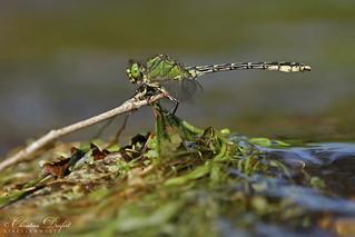 Green Snaketail / Grüne Flussjungfer (Ophiogomphus cecilia)