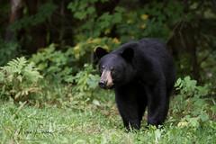 Step Carefully (Megan Lorenz) Tags: blackbear americanblackbear bruin bearcub bear yearling animal mammal nature wildlife wild wildanimals ontario canada mlorenz meganlorenz