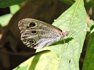 Longtan/龙潭 - Ypthima multistriata/Ringlet Butterfly/密纹矍眼蝶 DSCN7177