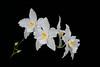 Odontoglossum nobile 080 2018 (Guido Deburghgraeve) Tags: odontoglossum nobile colombia