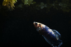 Betta (Find The Apex) Tags: plakat betta fish bettasplendens aquarium plantedaquarium animals aquariumfish