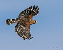 RSFLTa (lfalterbauer) Tags: redshoulderedhawk canon 7dmarkii dslr digital flickr yahoo adobe camera wetlands stoneharbor marsh flight naturephotographer wildlifephotographer feathers wings avian ornithology endangered raptor birdsofprey cornell