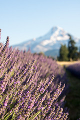 Lavender Valley with Mt. Hood (m01229) Tags: thedalles oregon unitedstates us