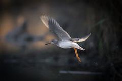 Backlight (gseloff) Tags: greateryellowlegs bird flight bif nature wildlife animal water morning bayou horsepenbayou pasadena texas kayak gseloff
