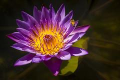 Lotus Flower Thailand (♥siebe ©) Tags: 2018 chiangmai siebebaardafotografie thai thailand flower flowers wwwsiebebaardafotografienl ดอกไม้ ประเทศไทย เชียงใหม่ เมืองไทย ไทย nederland