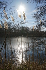 Winterwalk (Schagie) Tags: reed riet ijs ice sun zon licht light beams water tree nature winter natuur holland koud cold freezing