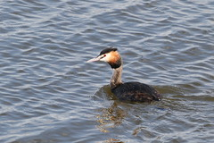 Great crested grebe (roger_forster) Tags: podicepscristatus greatcrestedgrebe lymington keyhaven hiwwt hampshire wild bird sea solent