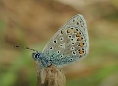 Common Blue (Polyommatus icarus) Male (Rezamink) Tags: commonblue polyommatusicarus butterflies uk