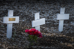 White and Red (allentimothy1947) Tags: califonia santaroaa sonomacounty beautiful bloom catholic crosses decorations graves green white flowers roses plastic poor pauper calvarycatholiccemetery cemetery
