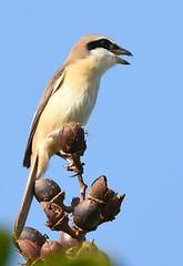 Brown Shrike (anacm.silva) Tags: brownshrike shrike picanço ave bird wild wildlife nature natureza naturaleza birds aves japanesegarden asia singapore ásia singapura laniuscristatus