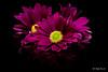Leucanthemum vulgare (Magda Banach) Tags: canon canon80d leucanthemumvulgare sigma150mmf28apomacrodghsm blackbackground colors flora flower macro margerytka nature plants purple reflection