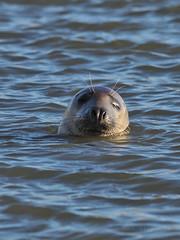 M2173892 E-M1ii 300mm iso200 f5.6 1_800s SingleAF (Mel Stephens) Tags: 20180217 201802 2018 q1 3x4 tall uk scotland aberdeenshire olympus mzuiko mft microfourthirds m43 300mm pro omd em1ii ii mirrorless coast coastal animal animals seal water seals wildlife nature newburgh river ythan