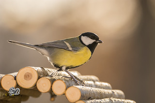 great tit standing on wooden sticks