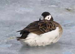 Long-tailed Duck - female (Clangula hyemalis) (Gavin Edmondstone) Tags: clangulahyemalis longtailedduck female duck bronteharbour oakville ontario