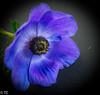 Anemoon/Anemone (truus1949) Tags: bloem blauw bloemenhart