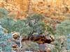ormiston trees (sarinozi) Tags: flora gumtree eucalypt bush scrub australia australian outdoor nature natural wild arid remote erosion formation rock geology rugged rough cliff landscape scene view hill steep contrast dry wilderness